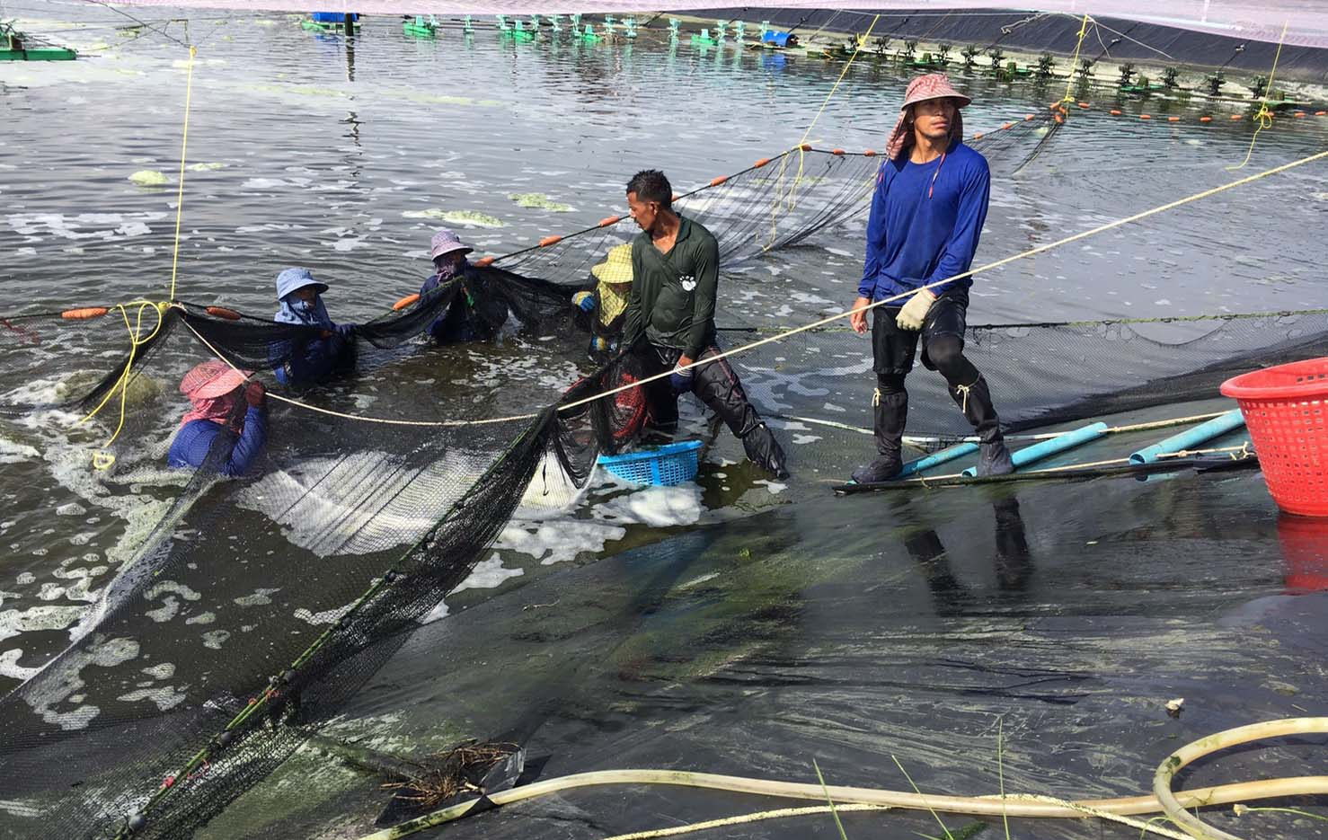 Staff harvesting shrimp