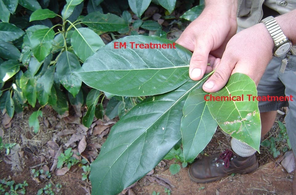 Differences on leaves of EM Treated plants
