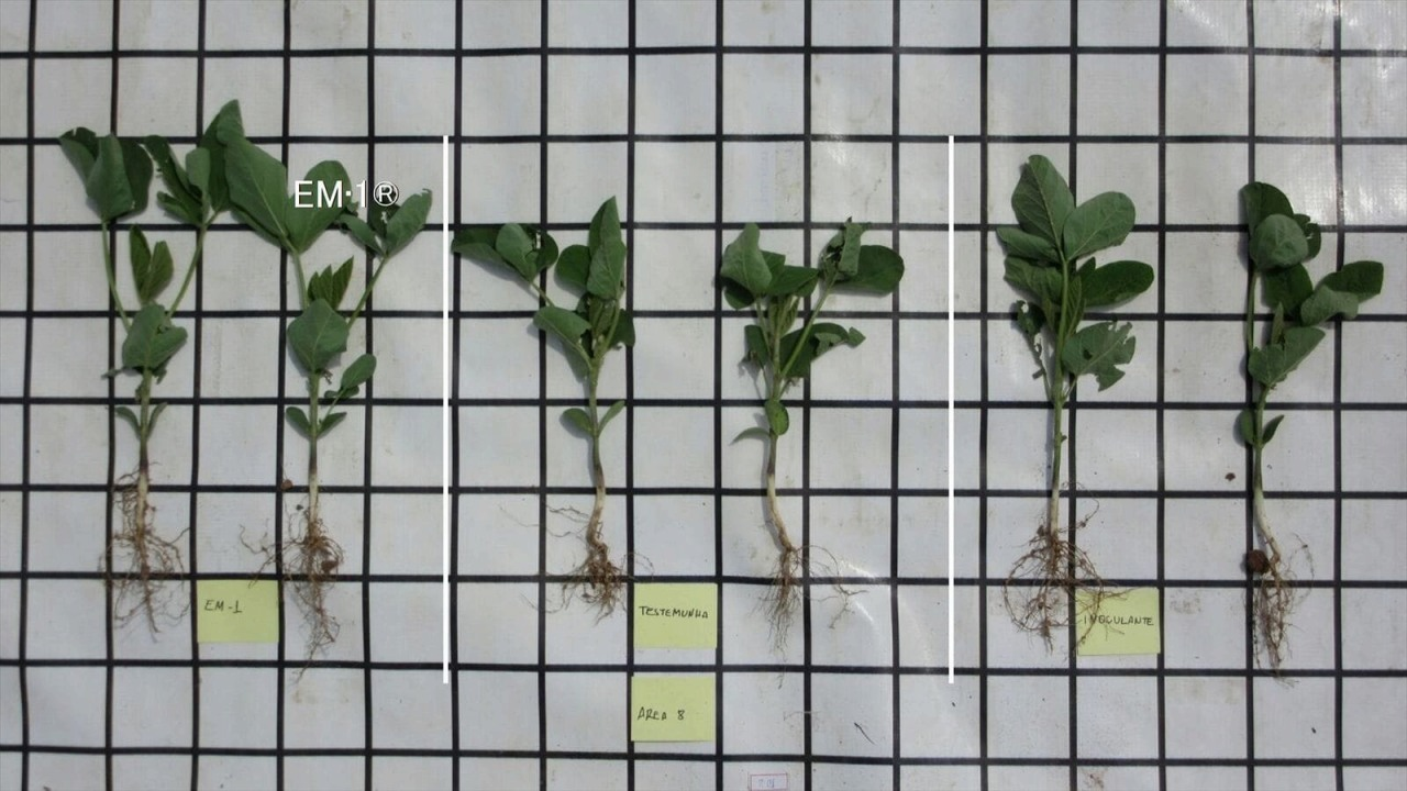 2 seedlings from the left are treated by EM・1.