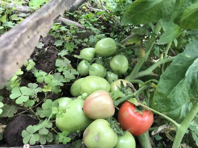 Tomatoes grown with EM compost