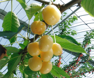 4. Yellow variety of cherries