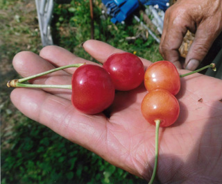 5. Left: Cherries grown in the barrier area