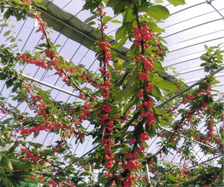 2. Ripe cherries