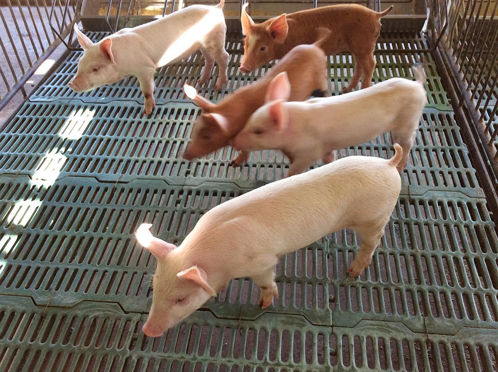 Healthy & clean pig